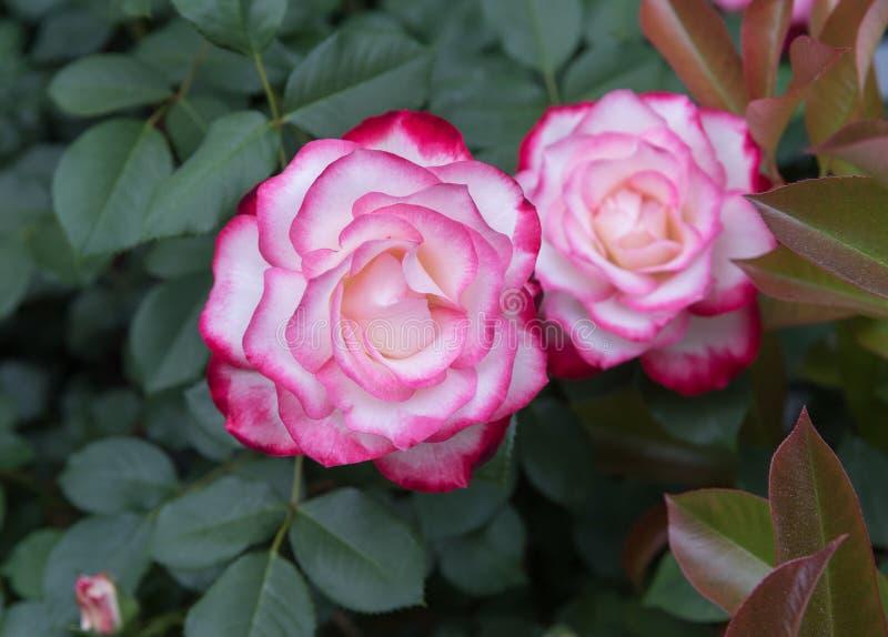 Magn?fico dos-coloreado subi? cabeza de flor en primavera imagen de archivo