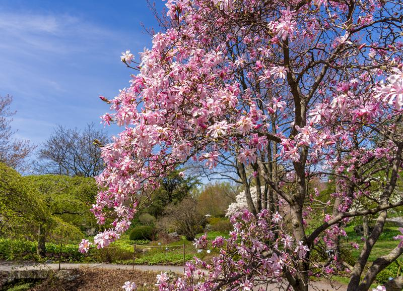 Magn?lia que floresce no jardim bot?nico de Montreal fotos de stock