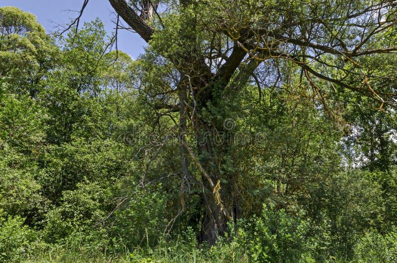 Magnesowy krajobraz lato natura z zielonym deciduous lasem i duży stary łamający drzewo w Lozen górze zdjęcie stock