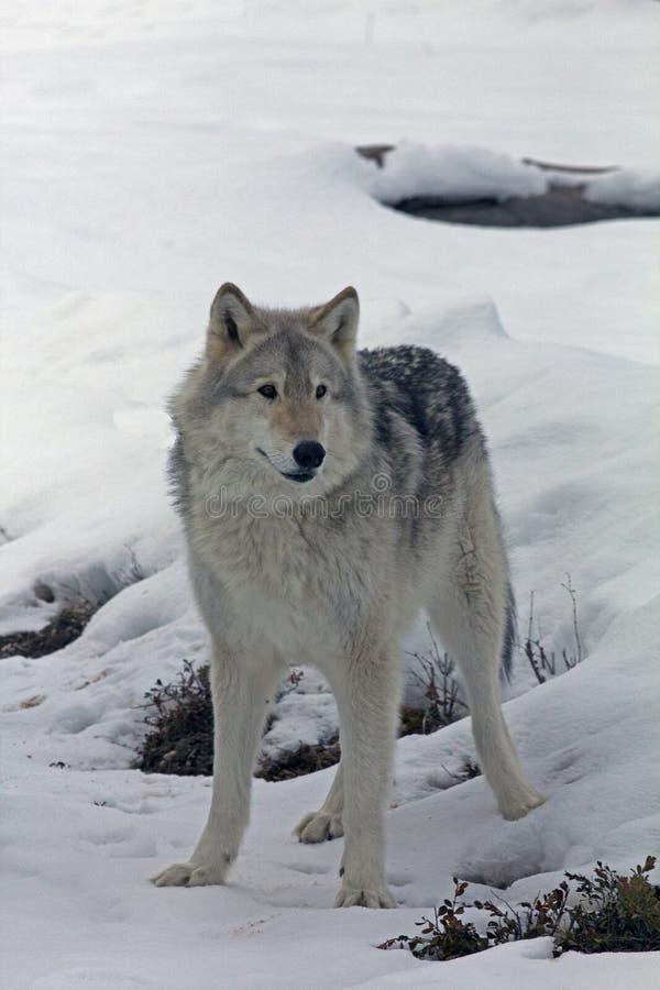 Magnicient Wolf