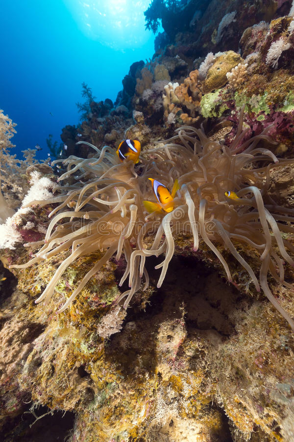 Download Magnificent Anemone And Tropical Reef In The Red Sea. Stock Photo - Image of life, exotic: 28775752