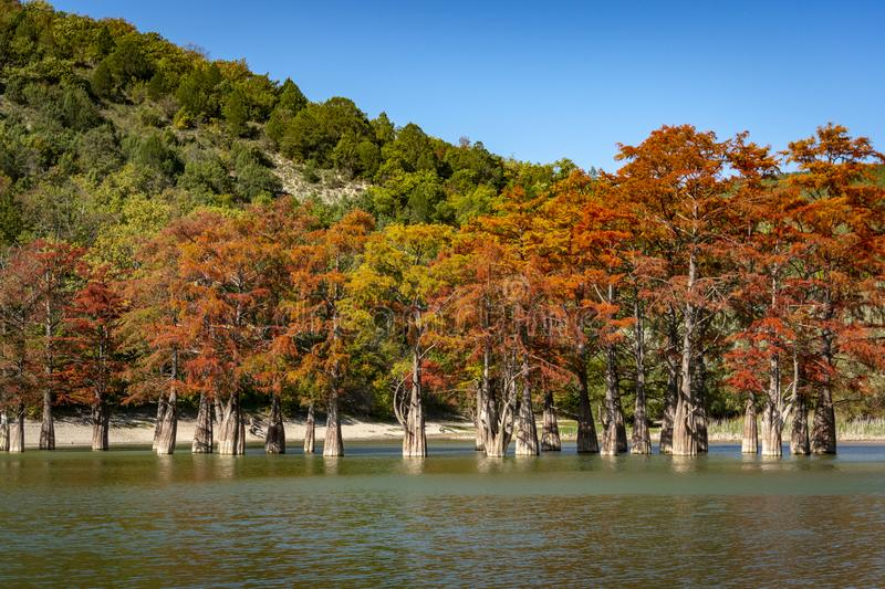 The magnificent autumn red and orange needles of the group of cypresses Taxodium distichum on the lake in Sukko stock photography
