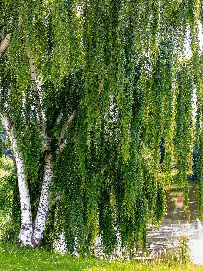 Magnificent European White Birch (Betula pendula) royalty free stock photography
