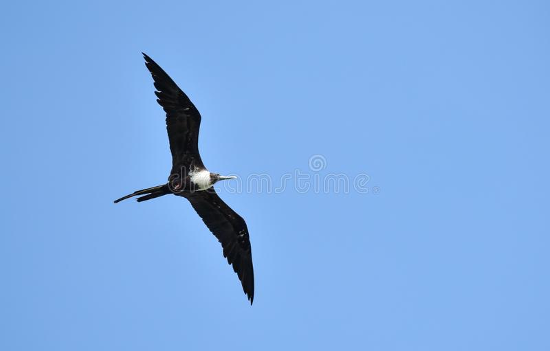 Magnificent female Frigatebird, Fregata magnificens flying on wind currents. This bird is able to soar on wind currents for weeks at a time and spends most of stock photo