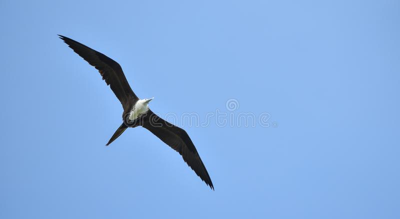Magnificent female Frigatebird, Fregata magnificens flying on wind currents. This bird is able to soar on wind currents for weeks at a time and spends most of stock photos