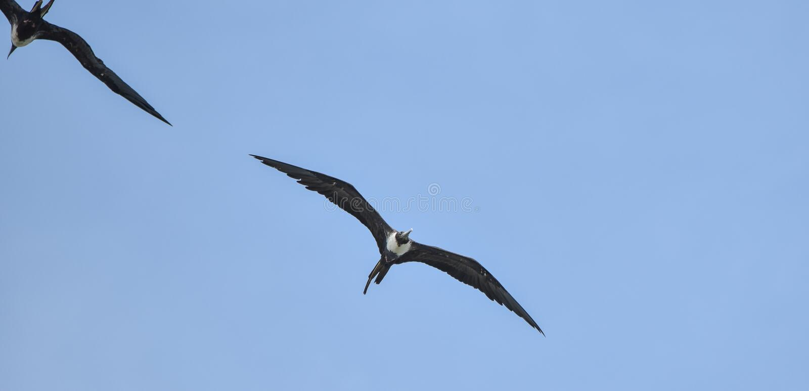 Magnificent female Frigatebird, Fregata magnificens flying on wind currents. This bird is able to soar on wind currents for weeks at a time and spends most of stock images