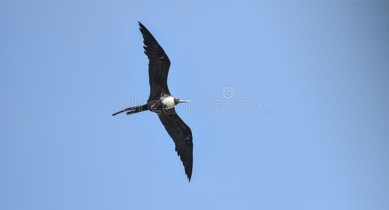 Magnificent female Frigatebird, Fregata magnificens flying on wind currents. This bird is able to soar on wind currents for weeks at a time and spends most of royalty free stock photography