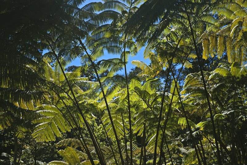 Magnificent fern forest, Hawaii. Gigantic ferns of the rain forest above Kilauea Iki Crater, Hawaii Volcanoes National Park, Big Island, Hawaii royalty free stock photography