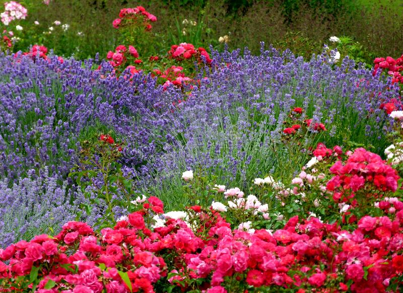 Magnificent flowerbed with lavender and red flowers in the foreground and background. Successful gardener`s work, flower-rich ornamental garden, Lavandula stock image