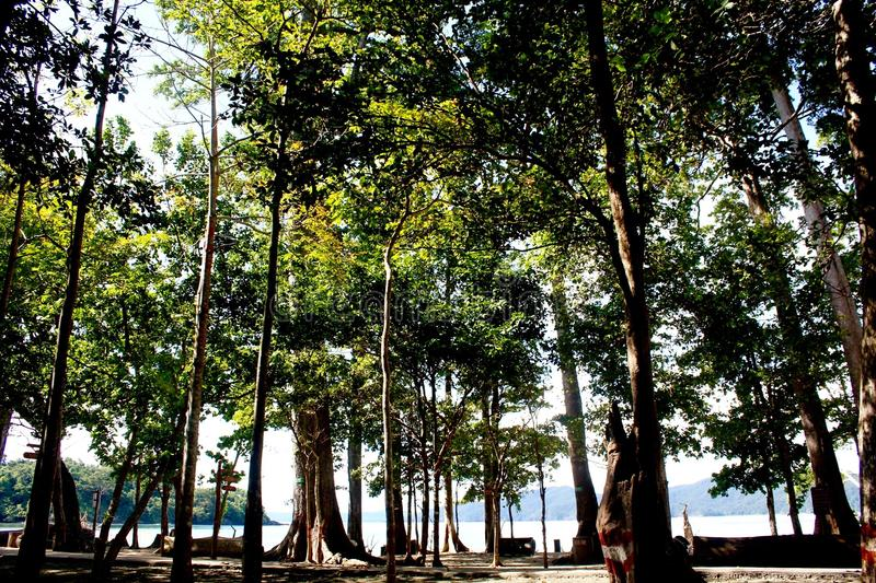 Magnificent 150 foot trees - Sea Mohwa on Radhanagar beach, Havelock Island, Andaman Islands, India stock image