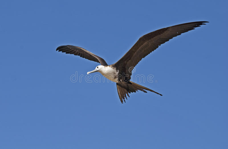 Magnificent frigate bird in the air stock photography