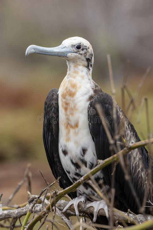 Magnificent Frigatebird in Galapagos Islands stock photo