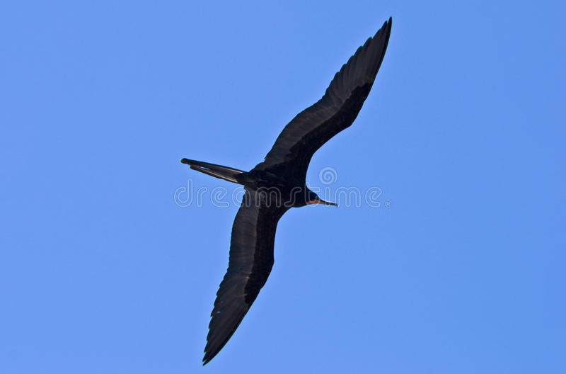 Magnificent frigatebird riding the updrafts stock images