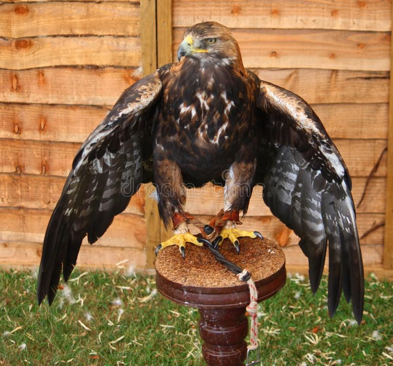 A magnificent golden eagle raptor bird spreading its wings stock photo