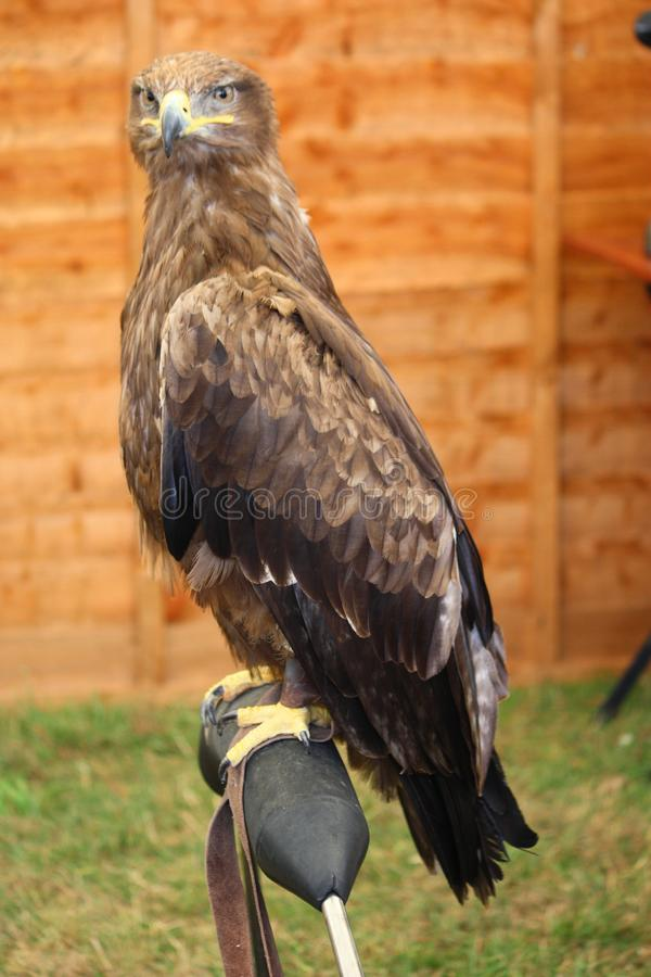A magnificent golden eagle raptor royalty free stock images