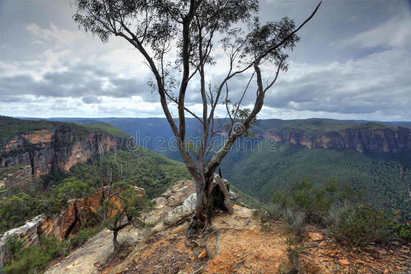 Magnificent gum tree at Burramoki Headland overlooking Grose V royalty free stock photography