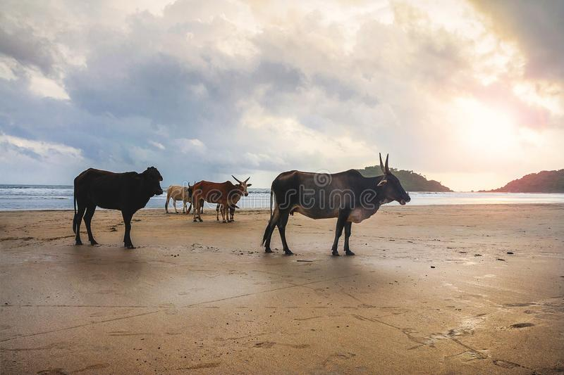 Magnificent herd of sacred cattle at the beach at sunset royalty free stock images