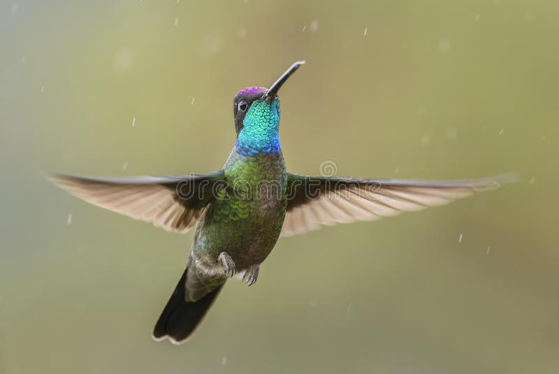 Magnificent Hummingbird - Eugenes fulgens. Beautiful colorful hummingbird from Central America forests, Costa Rica stock photos