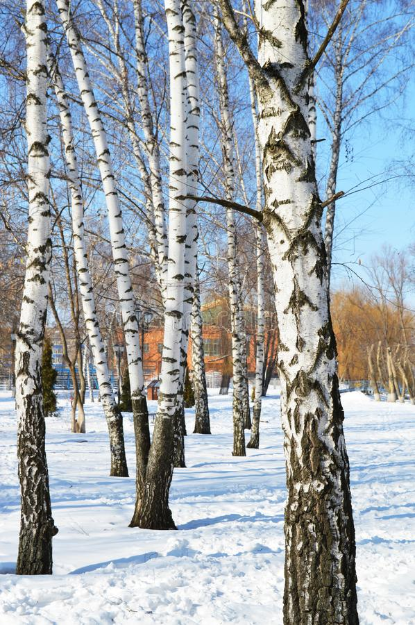 Magnificent landscape with birch. One sunny winter day. stock photo