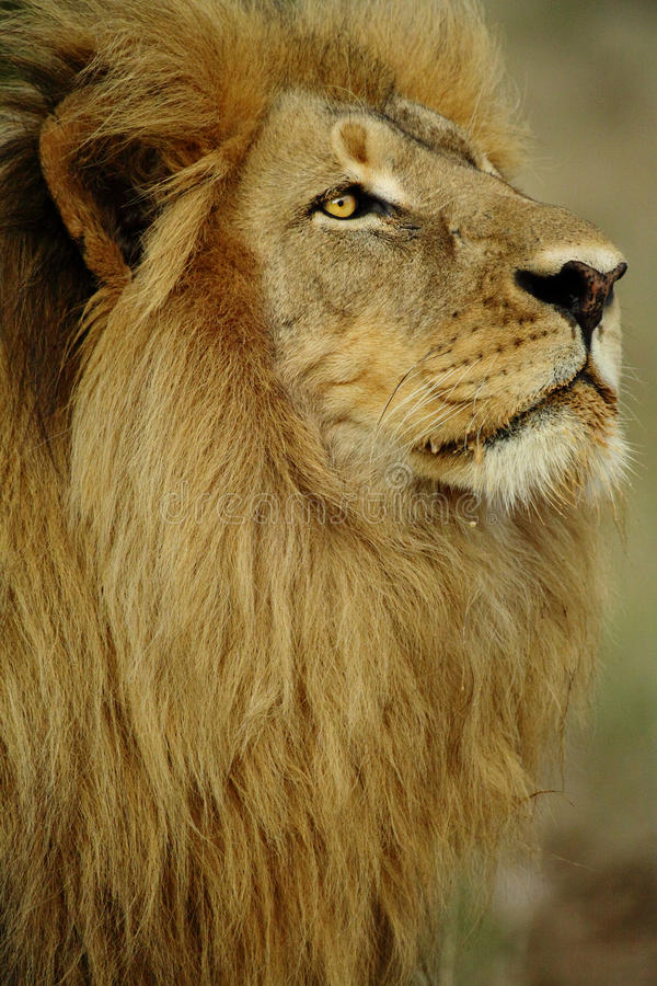 Big lion with stunning full mane stock photo