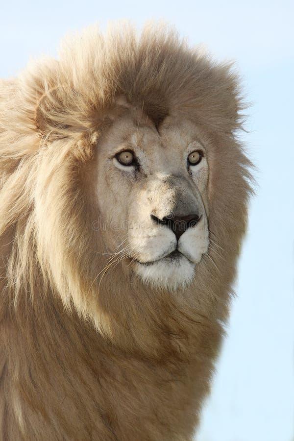 Magnificent Lion Portrait stock photos