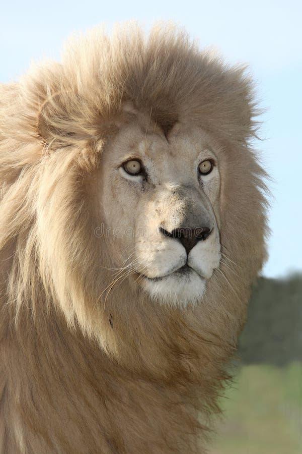 Magnificent Lion Portrait royalty free stock photo