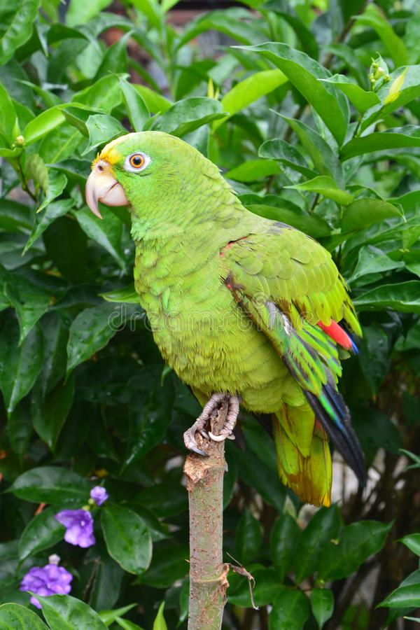 Beautiful green Parrot in portobelo village in Panamá. The magnificent and majestic green parrot, a rare bird with its amazing and colorful feathers, in a stock image