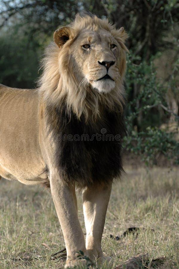 Magnificent Male Lion. stock photos