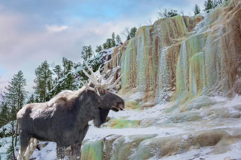 Magnificent moose royalty free stock photos