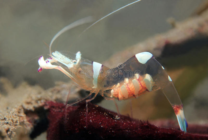 Magnificent Partner Shrimp. (Periclimenes Magnificus), Lembeh Strait, Indonesia royalty free stock photography