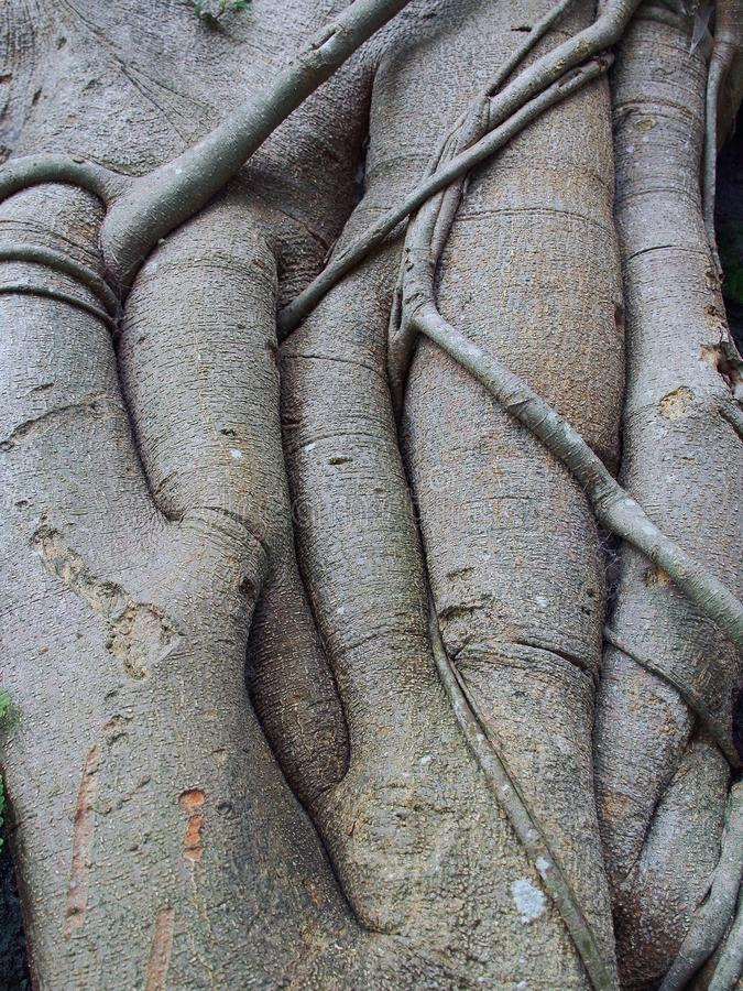 Magnificent Powerful Roots of a Morton Bay Fig Tree. stock image