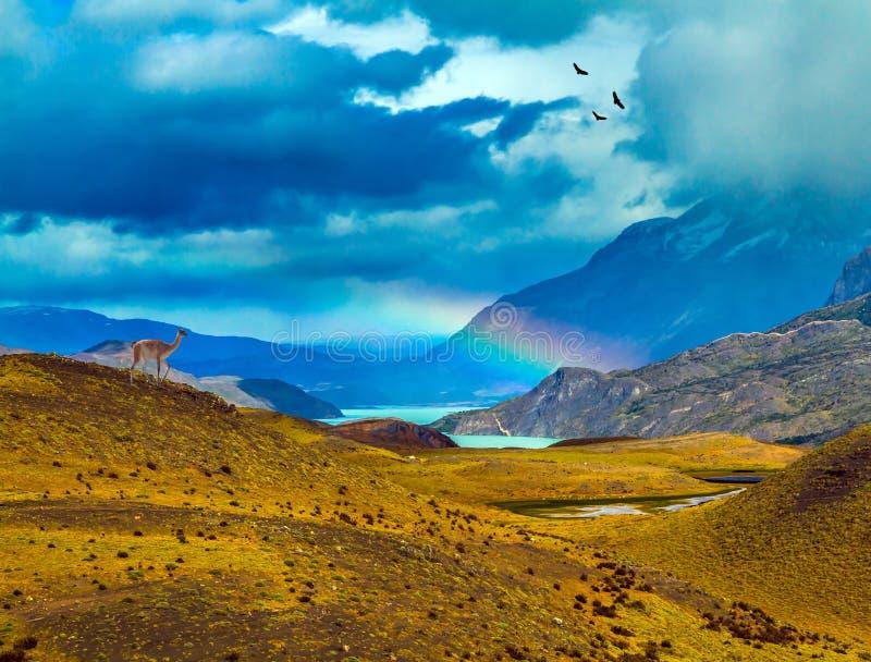 Magnificent rainbow crosses storm clouds. Guanaco near the lake Pehoe. Mgnificent rainbow crosses storm clouds. Torres del Paine National Park, Chile. The stock photo