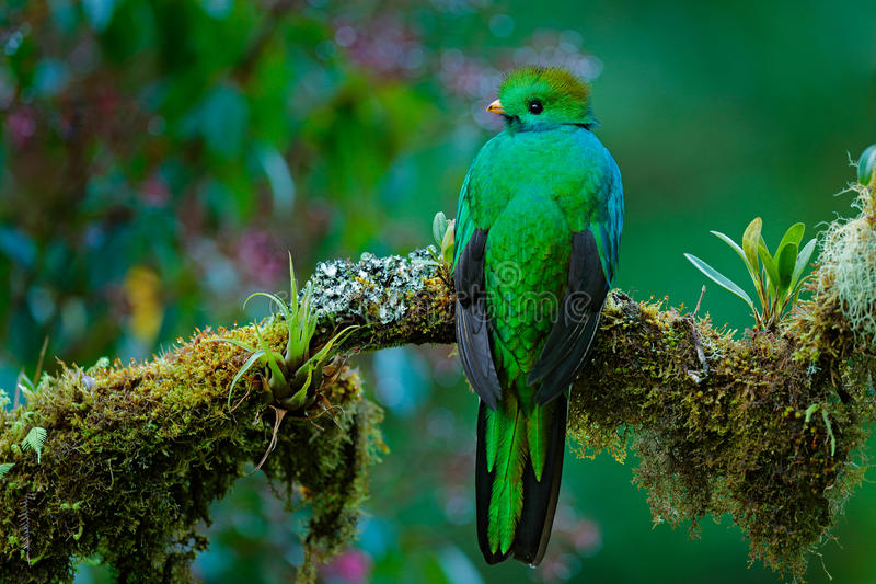 Magnificent sacred green and red bird. Detail portrait of Resplendent Quetzal. Resplendent Quetzal, Pharomachrus mocinno, from Sav royalty free stock images