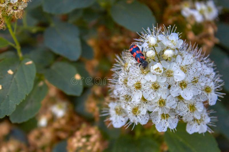 Shrub Spiraea chamaedryfolia `Ulmen-Spierstrauch` with fresh green foliage and white umbels in spring and a beetle on the flower royalty free stock images