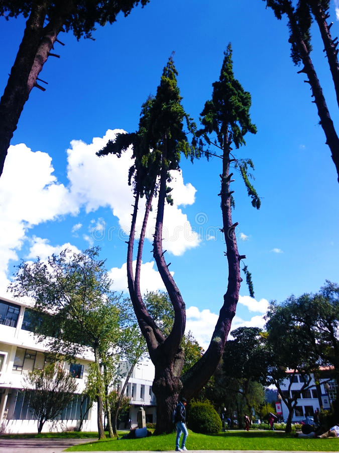 Magnificent Siamese Trees. Nature always surprises us with great specimens. This rare tree is no doubt astonishing stock photo