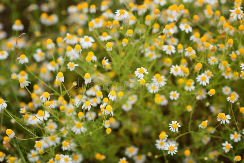 Magnificent spring wallpaper of daisies. stock photos