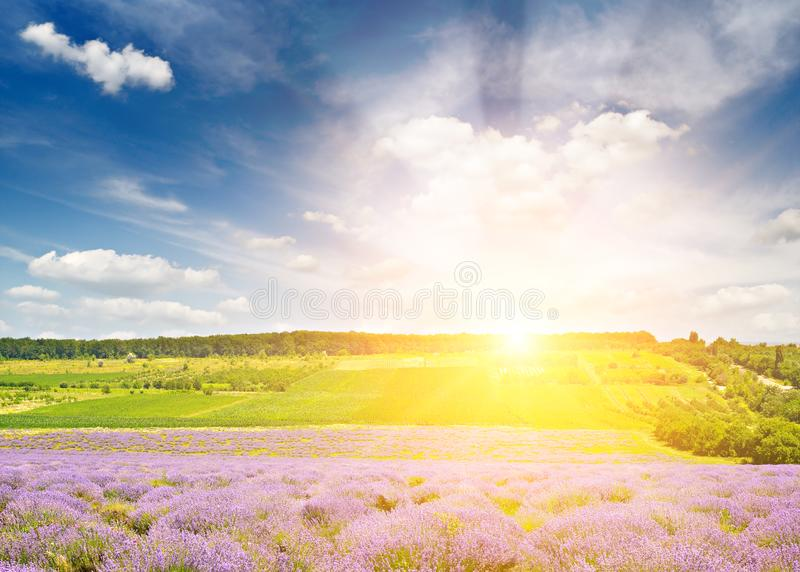 Magnificent sunrise with bright blazing sun. Lavender field royalty free stock photography