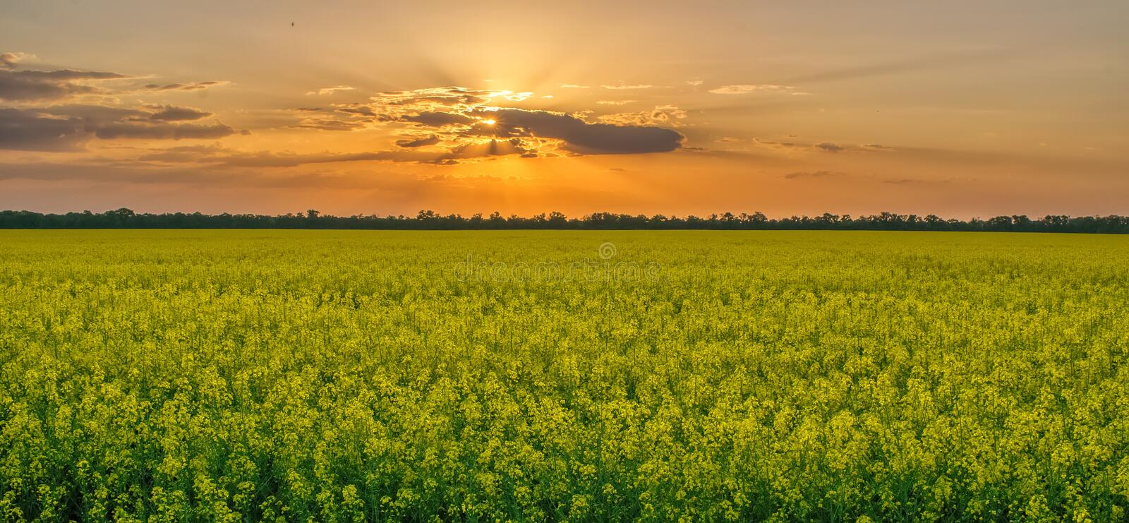 Magnificent sunset over rapeseed field stock images