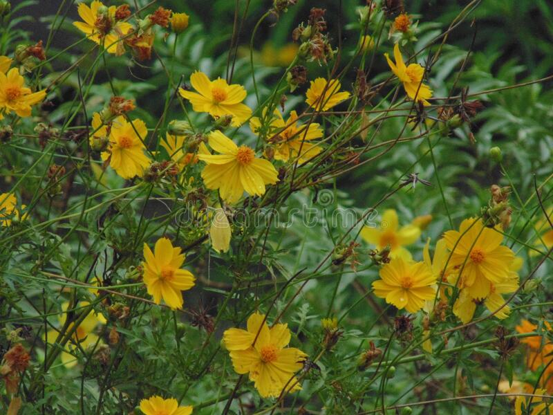 Yellow flowers in full bloom in a garden stock image