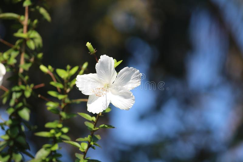 A magnificent white hibiscus with opened petals stood tall and incredible. Very attractive charming flower is all one need to see royalty free stock photo