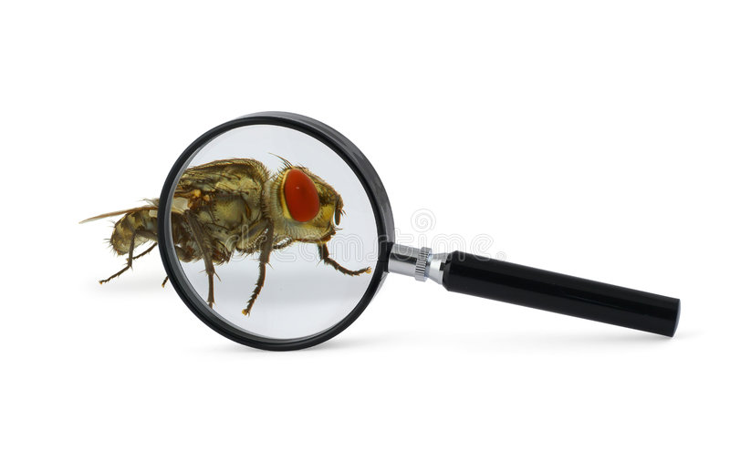 Magnified fly insect. Isolated on white stock photo