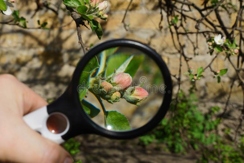 Magnifier powiększa czerwonych kwiaty z zielonymi liśćmi na jabłoni gałąź w wiosna ogródzie obrazy stock
