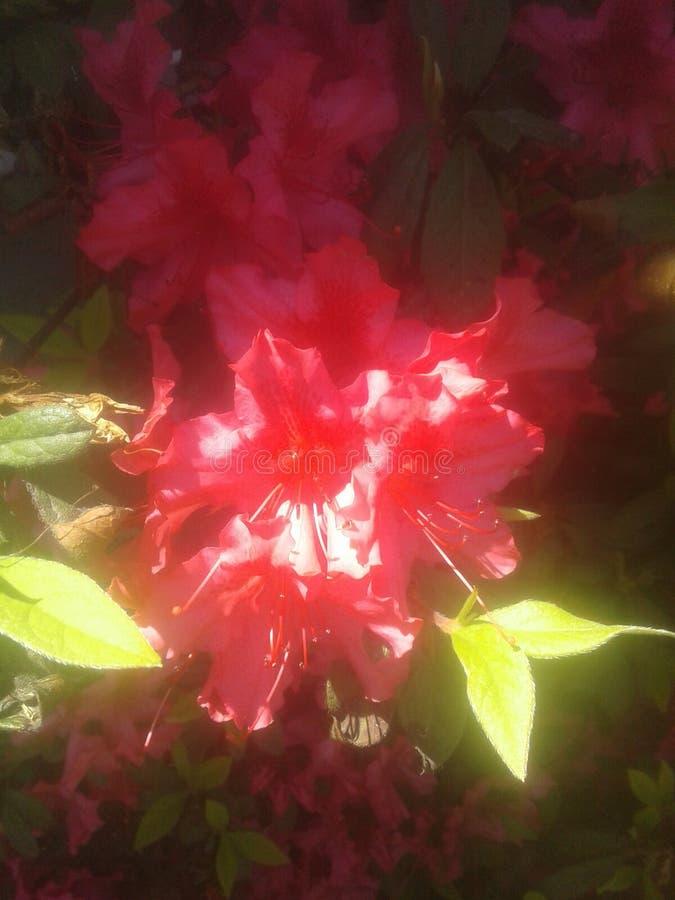 Magnifique rouge lumineux images stock