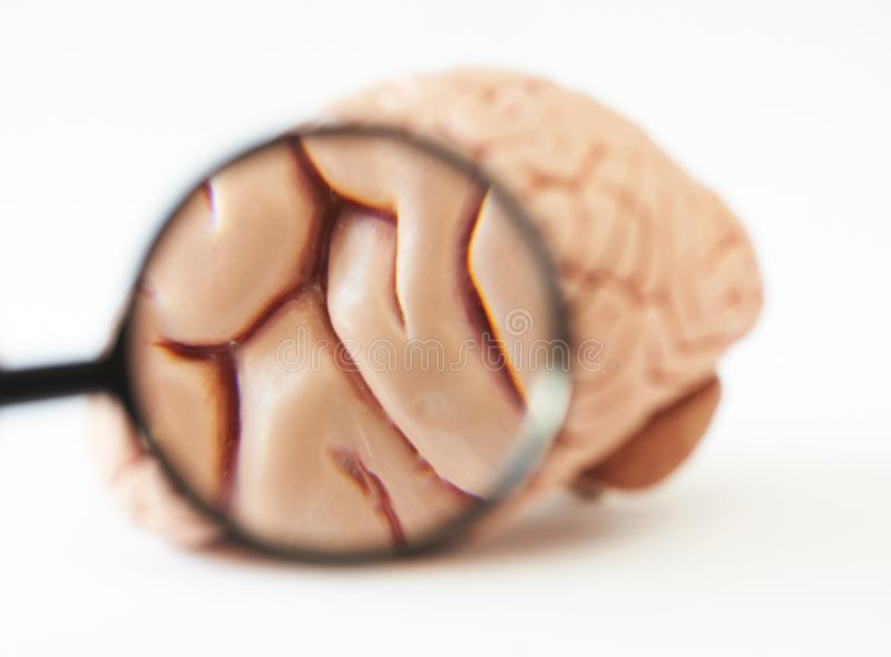 Magnifying glass showing anatomy of brain model royalty free stock photos