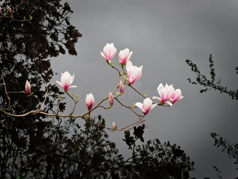 Magnolia över vatten arkivfoto