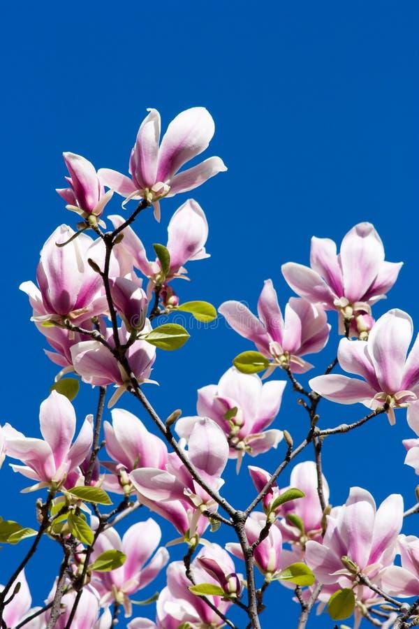 magnolia λουλουδιών στοκ εικόνα με δικαίωμα ελεύθερης χρήσης