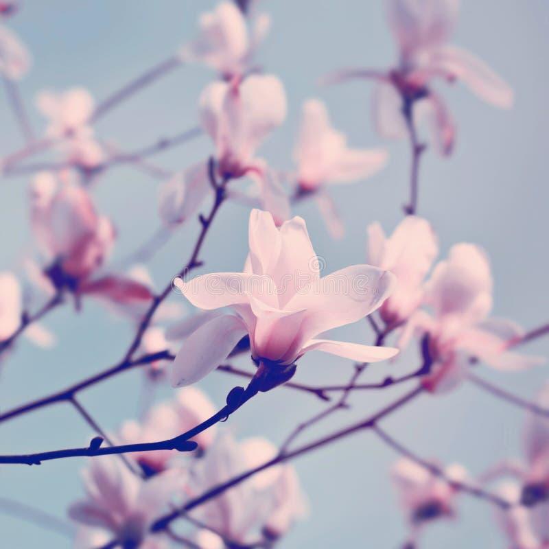 magnolia λουλουδιών στοκ εικόνες