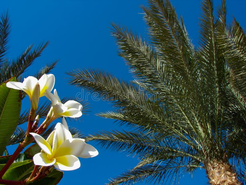 Magnolia στο υπόβαθρο των φοινίκων και του μπλε ουρανού στοκ φωτογραφίες με δικαίωμα ελεύθερης χρήσης