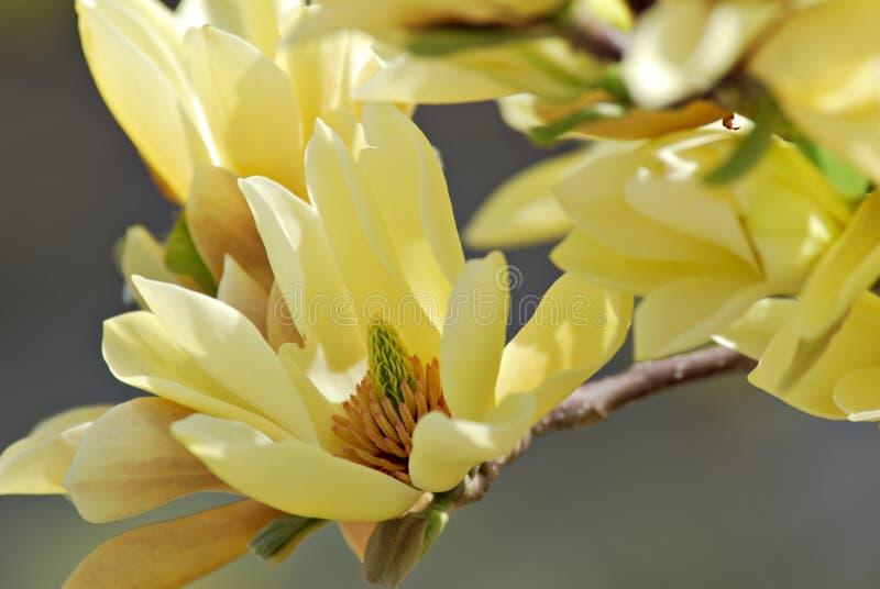 magnolia бабочек стоковая фотография