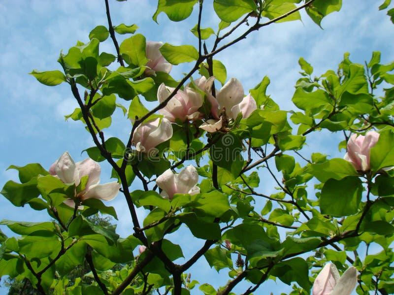 Magnolia и небо стоковая фотография rf